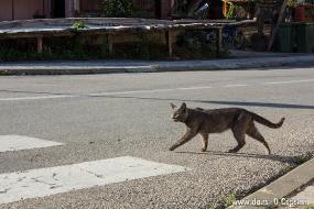 Гучевский кот