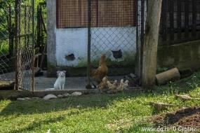Кот дружит с цыплятами