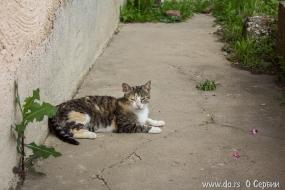 Кошка из Баня Ковиляча