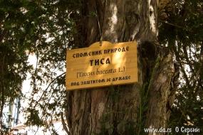 Памятник природы - старая тиса