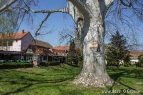 Самый большой платан в Сербии