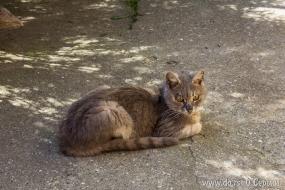 Кошка из Сремских Карловцев