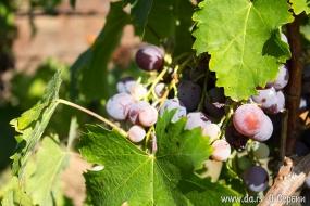 Баношторский виноград